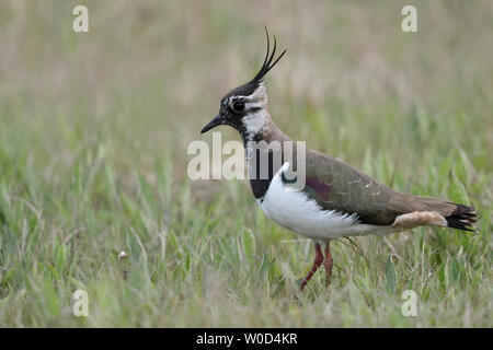 Northern Lapwing / Kiebitz ( Vanellus vanellus ), adult female, resting in an extensive meadow, typical surrounding, wildlife, Europe. - Stock Photo