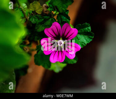 Beautiful Alcea rosea flower (common hollyhock) with dark bokeh background. - Stock Photo