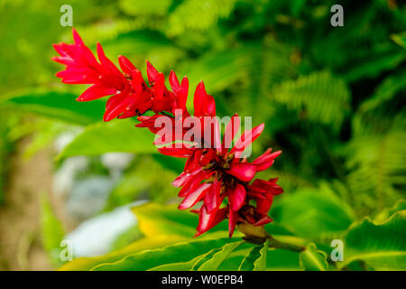 Close up of a Red Ginger flower in full bloom on the Blue Mountains, Jamaica - Stock Photo