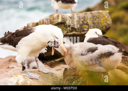 The black browed albatross colony on West Point Island, Falklands. Adult bird regurgitates food for hungry chick feeing directly from parents beak - Stock Photo