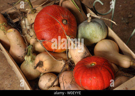 France, Bretagne,Taupont, October, organic Red Kuri squashes and butternuts harvested and placed in a crate - Stock Photo