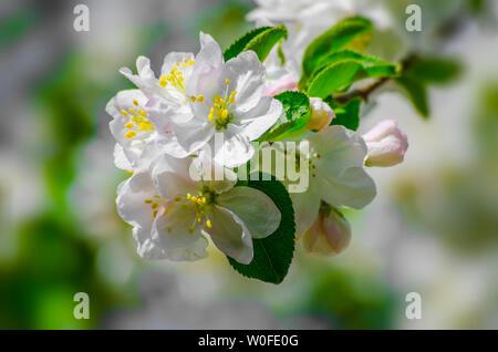 Blooming apple tree. Apple trees flowers.. - Stock Photo