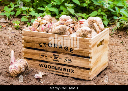 Front view of wooden box containing  freshly picked garlic in a cultivated field - Stock Photo