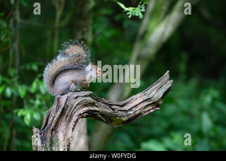 Eastern Gray squirrel or Grey squirrel Sciurus carolinensis siting on an attractive curved tree branch in profile displaying its long bushy tail - Stock Photo