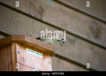 Tree Sparrow Passer montanus with distinctive chocolate brown head  and white collar, perching on top of a nestbox equipped with CCTV camera - Stock Photo