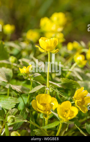 Full-blooming golden wild flower creeping buttercup, alias buttercup, runners buttercup, duck claw parsley, duck slap, duck claw, is a perennial herb of the buttercup family, with creeping branches, can take root at nodes, grow quickly, happy sun and resistant to Yin. Small yellow flowers, glossy, flowering from April to May. Originally born in wet grass, water edge or wetlands, can be used as a ground cover material for urban greening, beautiful landscape, but not trampling. Cold-resistant, wet, happy sun and shade. It is distributed in many parts of China. - Stock Photo