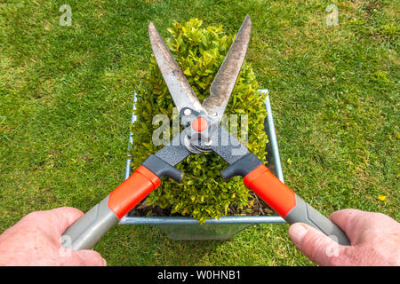 Close POV overhead shot of a man's hands using a pair of pruning shears to trim a small box hedge, growing in a square pot on a garden / yard lawn. - Stock Photo