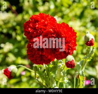 Poppy Red Pom Pom growing in a garden,Papaver somniferum, - Stock Photo