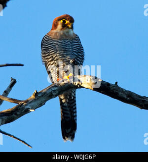The distinctive and dashing Red-necked Falon is an aerial hunter specialising in catching small birds in flight. They have a marked preference for hab - Stock Photo