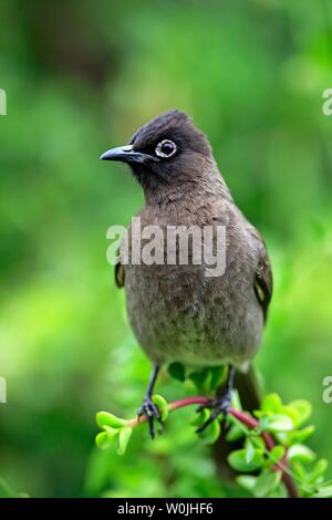 Cape Bulbul (Pycnonotus capensis), adult, Addo Elephant National Park, Eastern Cape, South Africa - Stock Photo
