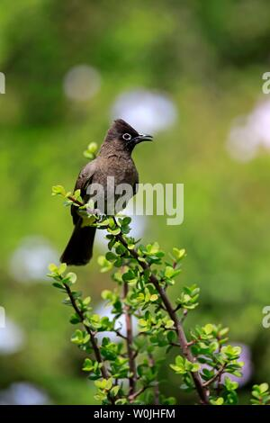 Cape Bulbul (Pycnonotus capensis), adult, singing, Addo Elephant National Park, Eastern Cape, South Africa - Stock Photo