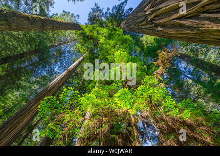 Green Towering Redwoods National Park Newton B Drury Drive Crescent City California. Tallest trees in  World, 1000s of year old, size large buildings - Stock Photo
