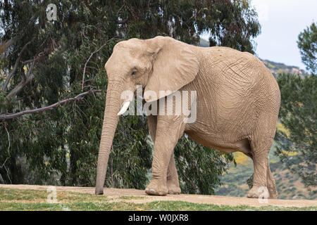 African elephant, female walking, trees in background, large ear, calm peaceful powerful animal - Stock Photo