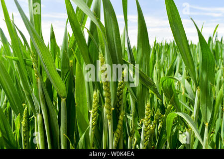 Young green wheat growing in early summer. - Stock Photo