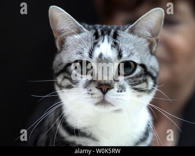 May 2019 – Beautiful Black, White and Grey American Shorthair Cat Looking Straight At You