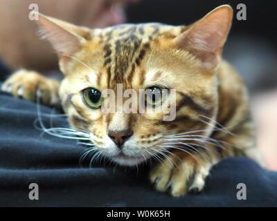 May 2019 – Face of A Pedigree Cat - Bengal Cat