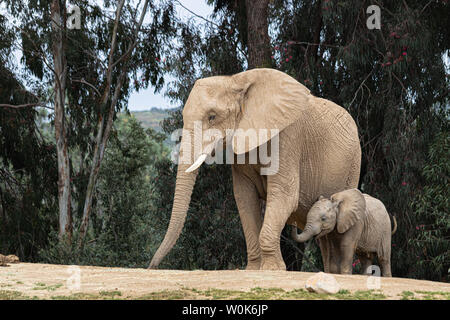 African elephants, kind loving tender relationship, mother and child, cute tiny baby elephant following mother, natural outdoor landscape