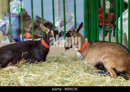 Pair of adorable brown goats in inside a farm on the floor with hay - Stock Photo