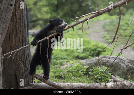 A male Andean bear cub, born over the winter at WCS's (Wildlife Conservation Society) Queens Zoo, has made his public debut as seen in this photograph released on May 4, 2017. The cub is the first Andean bear born in New York City. The unnamed cub now weighs 25lbs and is ready to venture into the zoo's bear habitat with his mom to start exploring. Andean bears are the only bear species native to South America. They are also known as spectacled bears due to the markings on their faces that sometimes resemble glasses. They have characteristically short faces and are relatively small in compariso - Stock Photo