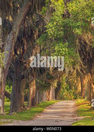 Canopy of oak trees and Spanish moss at Cumberland Island National Seashore, Georgia, USA. - Stock Photo
