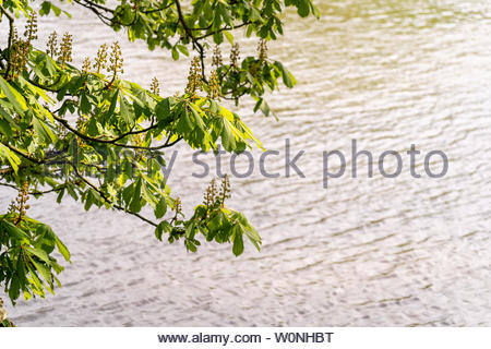 Horse chestnut tree overhanging the Thames River in twickenham, West London, England - Stock Photo