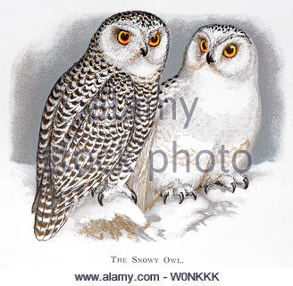 Snowy Owl (Bubo scandiacus), vintage illustration published in 1898 - Stock Photo