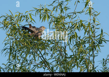 Cuckoo - cuculus canorus - in early morning light in willow tree - Rockland Marshes Nature Reserve, Norfolk, England, UK - Stock Photo