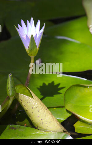 Image of a flower of the species Nymphaea caerulea, known as Egyptian lotus, Egyptian blue lotus or blue water lily. This is an aquatic plant belongin - Stock Photo