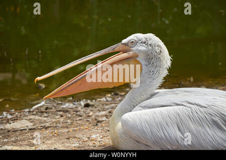 A pelican sitting with the mouth open - Stock Photo