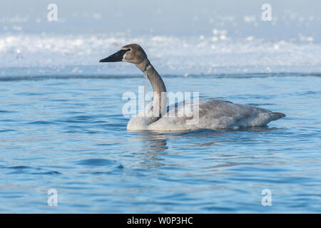 Immature trumpeter swan (Cygnus buccinator) with ice-coated fishing line wrapped around its neck. St. Croix River, Hudson, WI, USA, by Dominique Braud - Stock Photo
