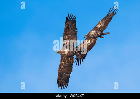 Pair of American Bald Eagles (Haliaeetus leucocephalus), sub-adult, North America, by Dominique Braud/Dembinsky Photo Assoc - Stock Photo