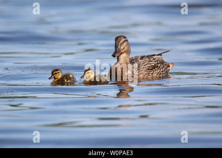 A mother mallard duck Anas platyrhynchos swimming with her two ducklings in Spring - Stock Photo