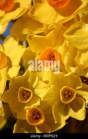 multiple yellow jonquils - Stock Photo