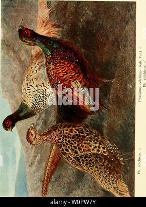 Archive image from page 146 of Der Fasan in Bayern . Der Fasan in Bayern : eine Historische und Zoologische darstellung derfasaninbayern00pocc Year: 1906 - Stock Photo