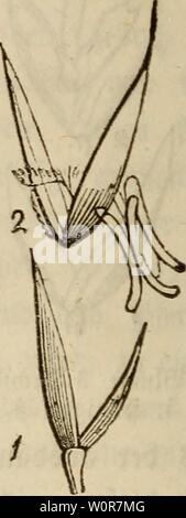 Archive image from page 301 of Der wiesenbau in seinem ganzen. Der wiesenbau in seinem ganzen umfange derwiesenbauinse00hafe Year: 1847  nne c$ überhaupt unter ben fetnMätterigen <Sa)ftingefarten 5« ben befferen gehört.    2. Vergrößerter Äelif. 3)a$ Rispengras ober 2Ste6cjraö (Poa), gehört unter bte artenreichen raSgattmu gen;53(üt£e: eineDftSpe, welche metjt w'eläfh'g unb ausgebreitet t|1 — bte 2(ebra)en an btefer dliäpt ftnb am runbe jugerunbet, im übrigen entweber eiförmig ober fjftitifittit, auö $nm iMc$fpel$en unb aus 3 bis 7 unb mefjr gweifpetygen 93fömtt)en aufammengefet; bte «Speis - Stock Photo
