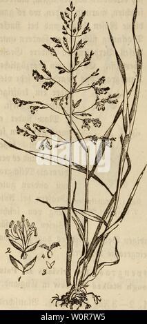 Archive image from page 305 of Der wiesenbau in seinem ganzen. Der wiesenbau in seinem ganzen umfange derwiesenbauinse00hafe Year: 1847  — 286 - befonberes feuchten (Steffen, fowie aua) auf letzten, feua> ten SÖßatbtefen jiemlia) atf gemein vor. ®a$ gemeine Dtöpenvaö iji einä ber £auptgräfer auf feueren, Ijauptfädjlicf) fyoni gen Siefen. a)tt>er$ fagt von bemfelben folgenbeä: 3n abgetveefneten £eia)en bi( bete bei mir ba$ gemeine Stfiepengraä einen folgen gite, ben bie enfe faum ju bura)bringen vermochte. 3n bev £ombarbei wirb e$ aH bie Königin atfev SBiefen pjTanjen betrachtet, wa£r fa) - Stock Photo