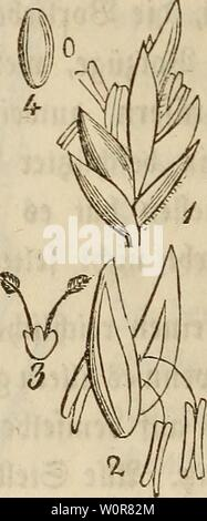 Archive image from page 307 of Der wiesenbau in seinem ganzen. Der wiesenbau in seinem ganzen umfange derwiesenbauinse00hafe Year: 1847  » i. frone unb (Bin stx$xü$txh& 9(eljvrfjen. 2, SBIumetu Staubbeutel. 3, $tucr)tfnoten. 4. @amc. - Stock Photo