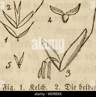 Archive image from page 313 of Der wiesenbau in seinem ganzen. Der wiesenbau in seinem ganzen umfange derwiesenbauinse00hafe Year: 1847  ftg. 1. Sttlü). 2. SDtc Betben 33tümrfjen mit ranne in ber im fjeven @cljc beS unteren unfvudjt; Baren 33lümdjen3, bag fvitcfttBare SÖtttjel faferig, £atm 2—4' £od;, aufrecht, ftrotjartig. blattet flad), meift faj)L SRtepe längttdj, gletdjförmig, aufrecht ober oben etwas geneigt uub $ur 33(ütf>en $eit ausgebreitet» Sleprcen etwas vötbltd) angelaufen. 3wüterMüm d;en metft gan$ grattttento 2luf Siefen, Triften, Salt) räubern, an Dramen unb graftgen teilen al - Stock Photo