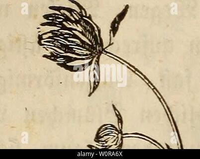 Archive image from page 339 of Der wiesenbau in seinem ganzen. Der wiesenbau in seinem ganzen umfange derwiesenbauinse00hafe Year: 1847  — 220 - 3) 2)er rot£e SStefenffee, TrifoliumpratenseperenneL., tfi beinahe auf aüen ötefen anju treffen, unb ift ate fa)ä$bare$ gutterfraut atfgemein befannt; son ber folgenben rotten 2lrt unterfceibet    ev fta; ityiW bura) bie runblidjen eiförmigen faß immer ganj ranbigen 3Mätta)en, bura) ben bieten, runbfia) eiförmigen Sölumenfopf, an beffen runb $tt>ei ungefttelte £üttblätter ft#en, unb befonberS babura), baß ber unterfk $el$aa£n Cber fängfte) für$er i - Stock Photo