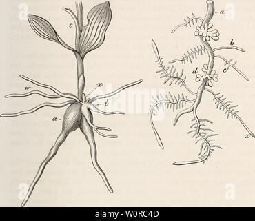 Archive image from page 364 of Der baum (1860). Der baum derbaum00scha Year: 1860  Wur/.olwnclioiiinon. 173 Schlamme kriecht, sohciueii sie sich vorzugsweise zu entwickeln. Auch den Leguminosen, z. B. der Lupine und den Klee-Arten, sind älinliche Auschwelhingen der Wurzel eigen, welche in der eigenthinnlichsten Weise bei den Uber die Erde hervorwachsenden Wurzeln der Cycadeen. auftreten. Bei Ceratozamia muricata sind es lange, wenig verzweigte Wurzeln, welche Fig. 124. Fig. 125.    reihenweise kurze, sternförmig verzweigte Seitenwurzeln ausschicken; bei Ceratozomia mexicana verzweigen sich die - Stock Photo