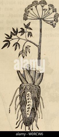 Archive image from page 370 of Der wiesenbau in seinem ganzen. Der wiesenbau in seinem ganzen umfange derwiesenbauinse00hafe Year: 1847  — 351 — einer mittelmäßigen @rbfe, welche im unreifen 3uftobe grün, aber wenn fte reif tft fcptt>ar$, bei einer gettnjfen 2lbart aua) rotp auSftept. Gt$ fangen immer meprere jufammen an abwärts pdngenben Stielen unb büben eine £)olbentraube. 3ntt>enbig enthalten fte einen rotjtfiefjen Saft unb viele bräunlia)e amen forner» £)en gieren iß fte töblicp. 6) £>er SBafferfcpierling (Cicutn virosa) tft eineS ber Stftt'aPen ett>äa)fe. @r roäa;$t in Sümpfe - Stock Photo