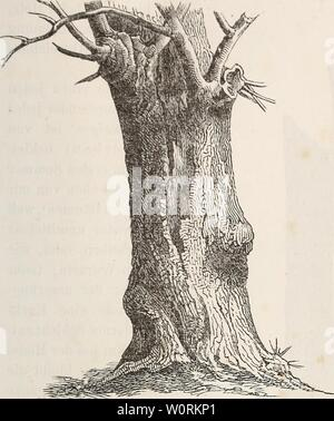 Archive image from page 458 of Der baum (1860). Der baum derbaum00scha Year: 1860  Rinde (los Wriiislocks, der ri;it;ui<- tirid dos Aliorti. 221 Bast wird, gleich dorn Flnc.lis, durch Fäulnilrt imtvY Wasser gereinigt, wodurcli die concentrisclien Bastscliichteii bandartig auseiiiaiuhrfallen. Der Lindenbast findet nocli zu mancherlei Zwecken, z. H. in der Gärtnerei, beim Verbinden der Pfropf- und OculirwundcMi (S. 123), ferner zur Anfer- Die Platane (Platanus occidentalis) wird durch flache, abgerundete, der Kiefer ähnliche Borkenschuppen charakterisirt, deren Rand jedoch nie- mals, wie dort - Stock Photo