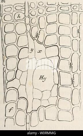 Archive image from page 482 of Der baum (1860). Der baum derbaum00scha Year: 1860  HiMiin«:; des Ifar/cs im IJaiiine. 233 ist, dazu bei den beiden letzteren an der Luft ziemlich sclmcll erhärtet. Wird doch von der cauarisclien Kiefer auf älinliclic Weise als von der Fichte Harz gewonnen. In allen Fällen aber scheint sich das Harz vor- zugsweise in die unteren Thcile des Stammes und in die Wurzeln, in welchen es schon ursprünglich reiclilicher vorhanden ist, zu sammeln, während doch selbst die höchst gelegenen Zweige Harzgänge besitzen und deshalb gleich den tiefer gelegenen Tlieilen des Stamme Stock Photo