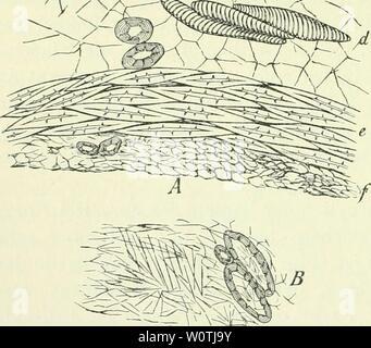 Archive image from page 727 of Der Tropenpflanzer; zeitschrift fr tropische - Stock Photo