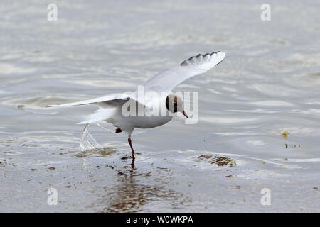 Adult Black headed Gull in Breeding plumage in flight on North Ronaldsay Orkney Scotland - Stock Photo