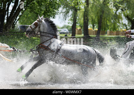 Horse team to the royal race in England. - Stock Photo