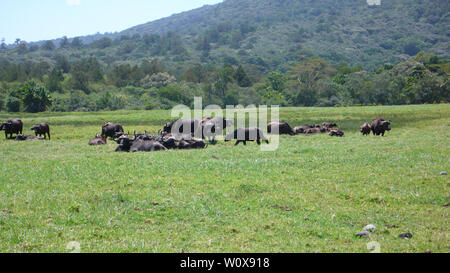 a herd of water buffalo on a grassy meadow in Arusha National Park at the foot of Mount Meru in Tanzania - Stock Photo