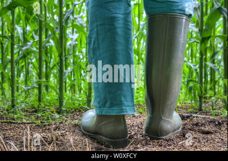 Rubber boots for agriculture. Farmer stands with green rubber boots in front of his corn field. One pant leg in the boot and the other over the boot. - Stock Photo