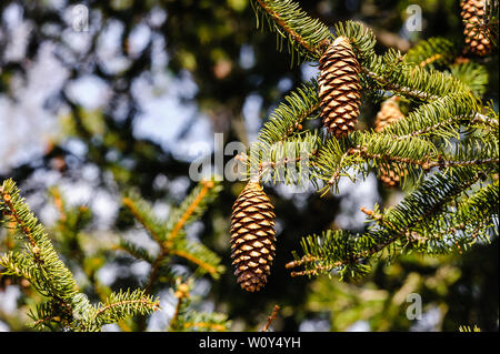 Conifer cones hanging off tree branches. - Stock Photo