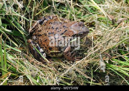 Common frog, Grasfrosch, Rana temporaria, gyepi béka - Stock Photo